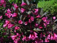 Weigela Florida Wine And Roses