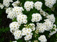 Spirea Nipponica Snowmound 2 Resized